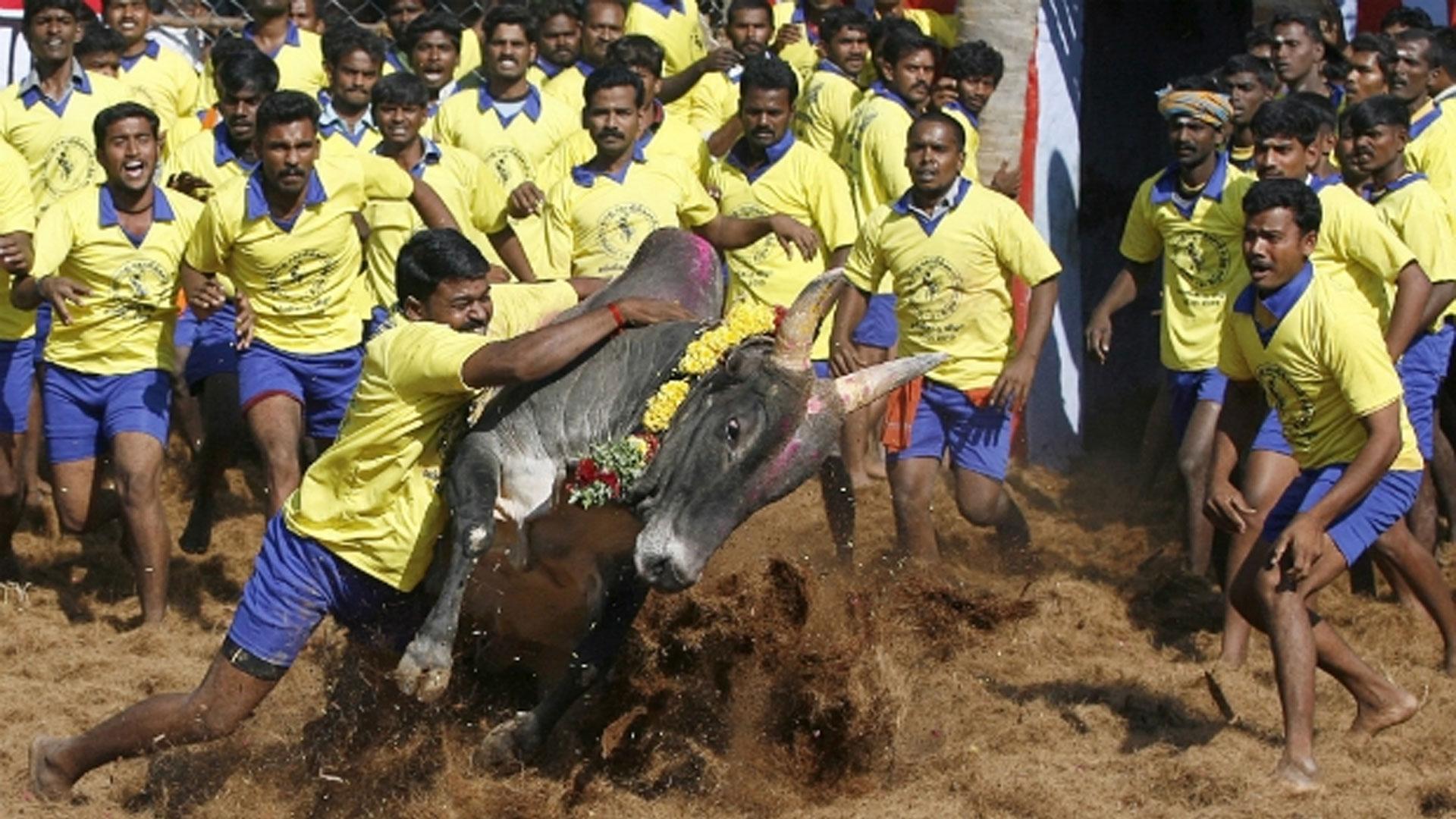 centre allows jallikattu in tamil nadu ahead of assembly polls dynamite news allows jallikattu in tamil nadu ahead