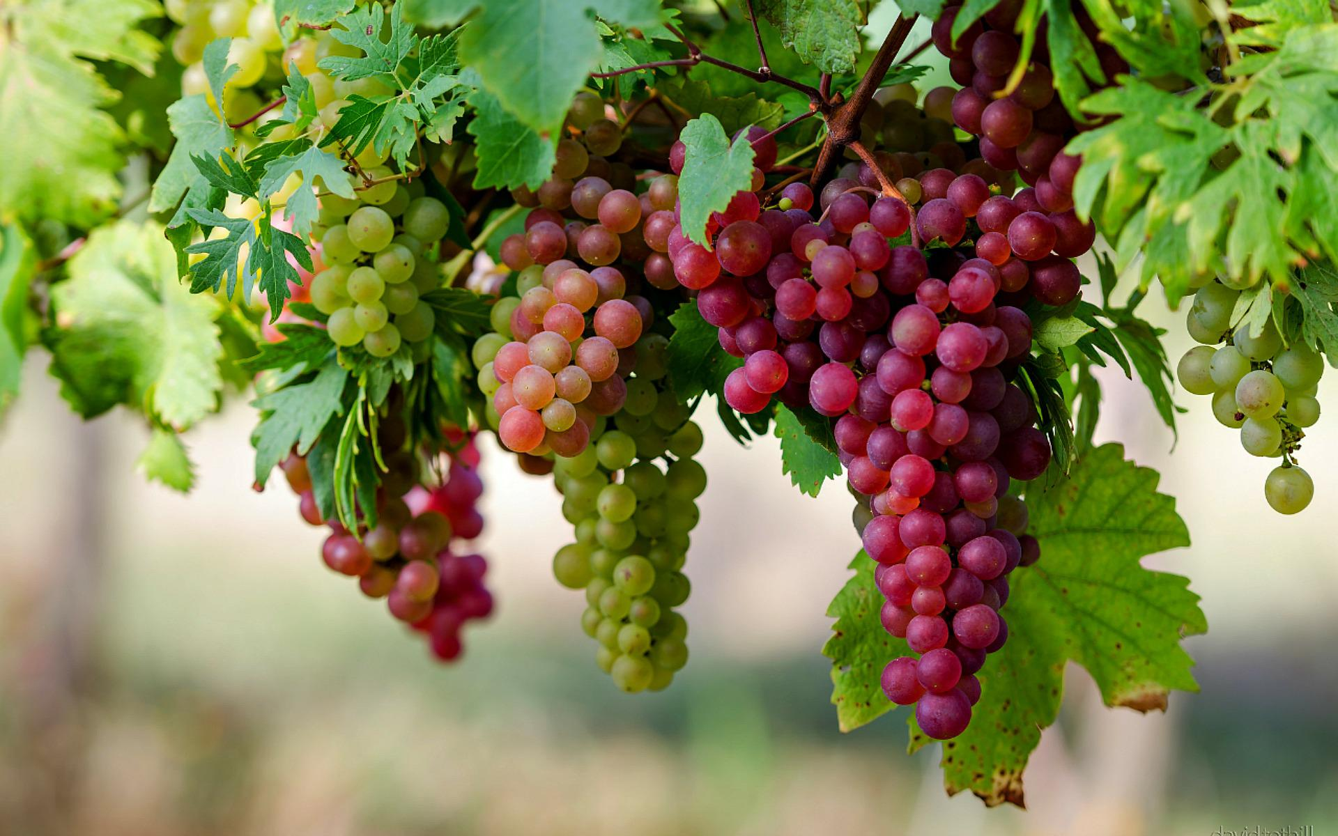 A juicy bunch of grapes