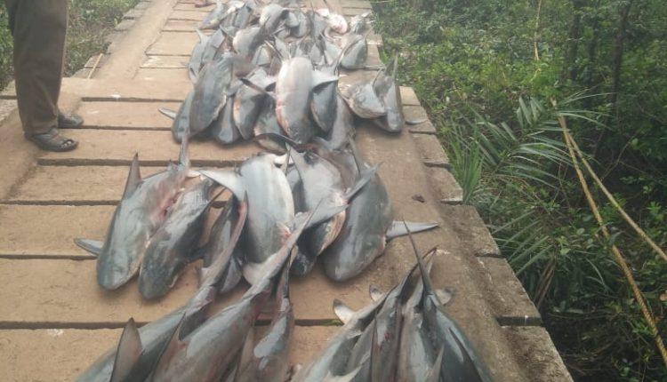 sharks seized