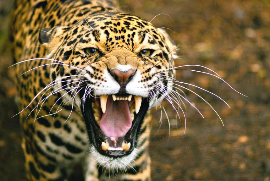 Boy killed in leopard attack
