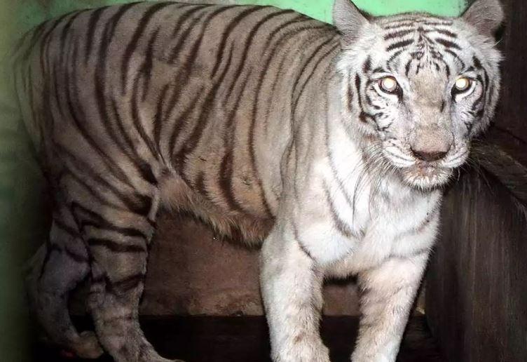 White tiger Bajirao (File photo)