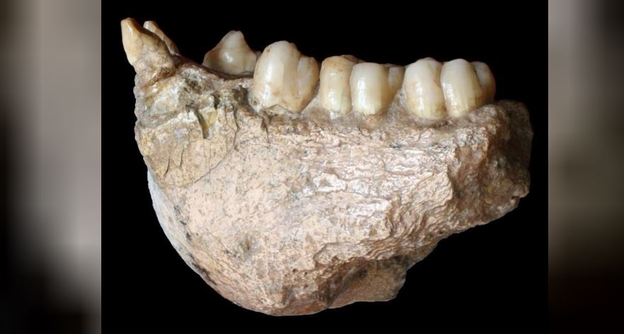 A fossil of a lower jaw of the large extinct ape Gigantopithecus blacki, found in Chuifeng cave in China's Guangxi region