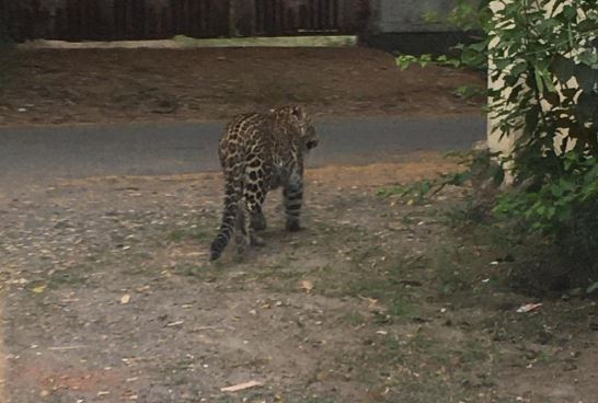 Leopard enters residential area