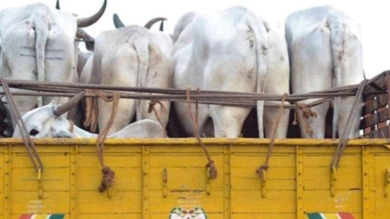 Suspected cow smugglers arrested in Muzaffarnagar  (Representational Image)