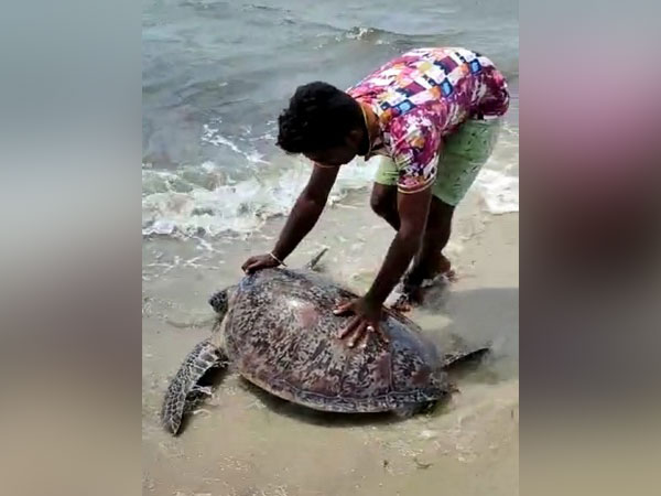 The turtle was washed ashore in Mandapam.