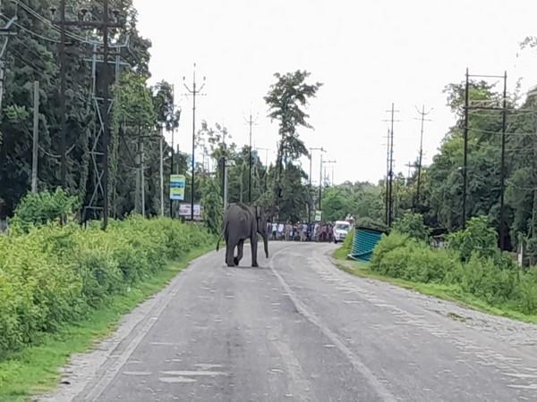 Wild elephant strays into West Bengal village, destroys tea garden